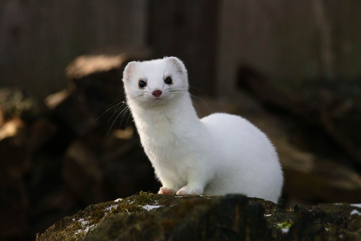Free ermine wallpaper wallpapers and background