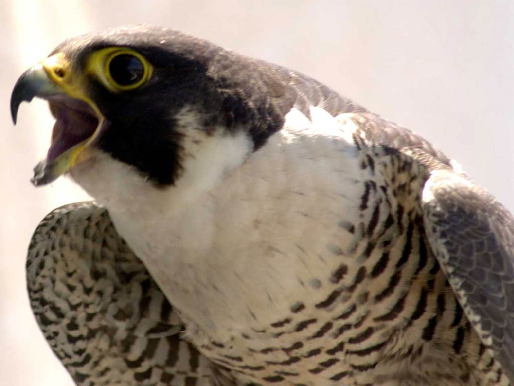 Falcon Wallpaper and background - Animals Town