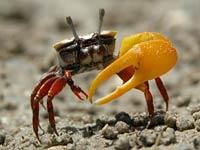 R Crabs Data Fiddler Crab - Animals...