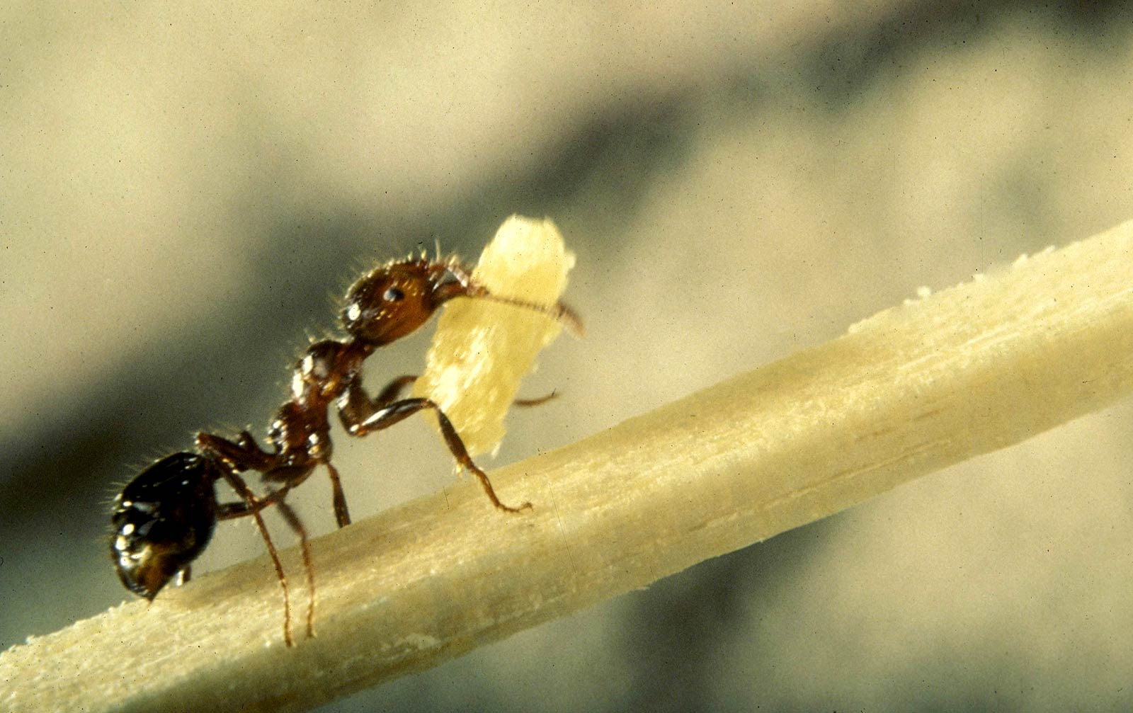 Fire Ant Wallpapers Animals Town