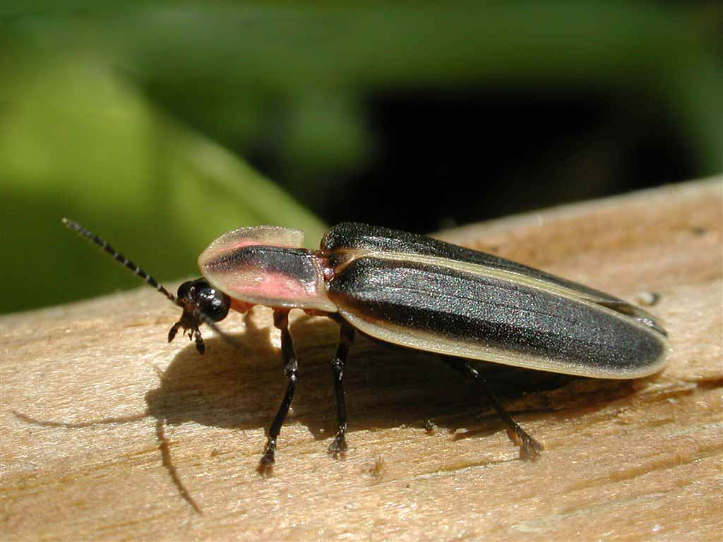 firefly insect information - HD 1024×768
