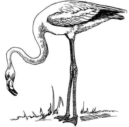 free flamingo coloring - Flamingo Coloring Page