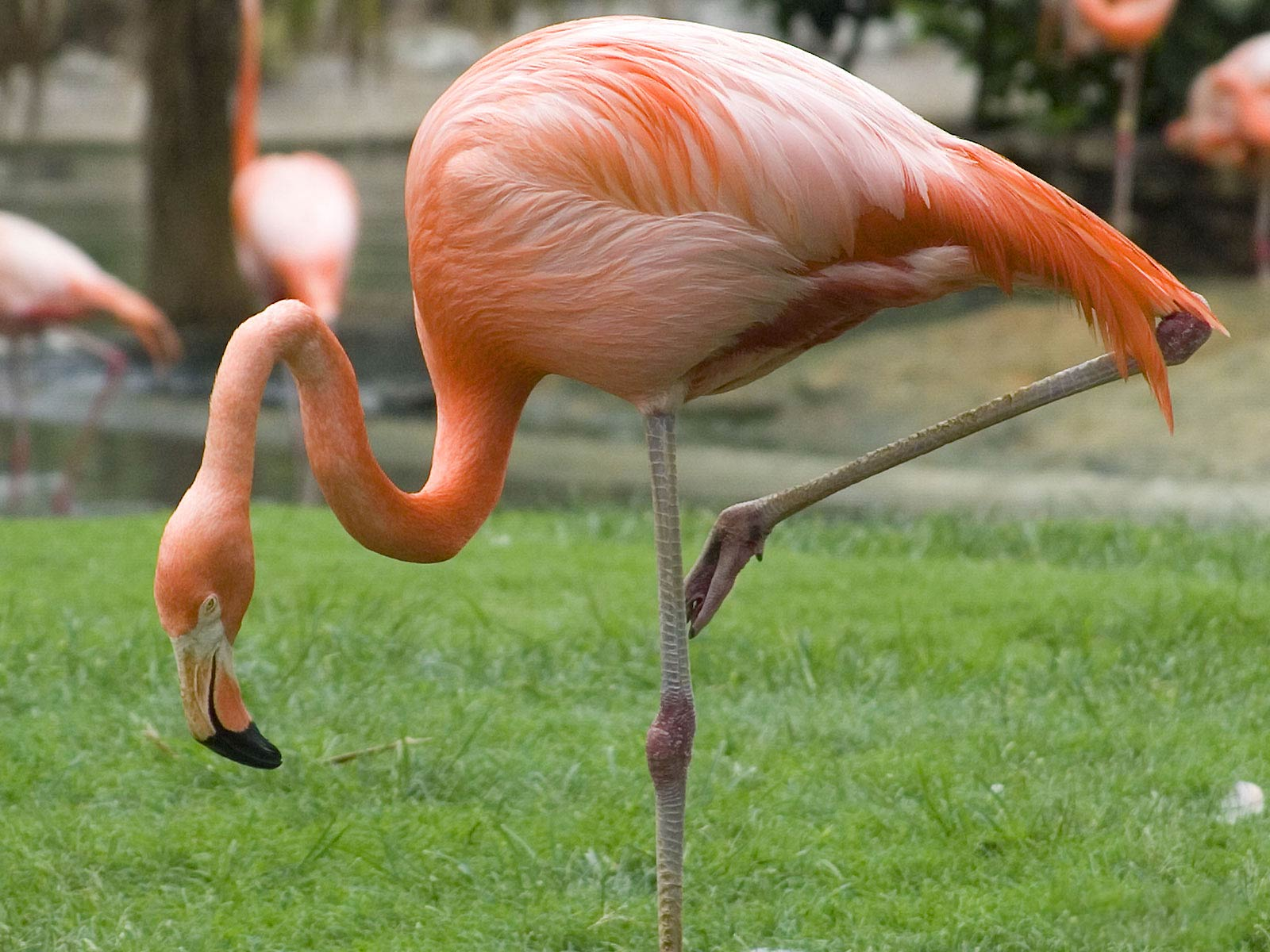 Flamingo Wallpaper and background - Animals Town