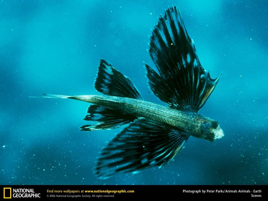 Flying Fish Wallpapers Animals Town