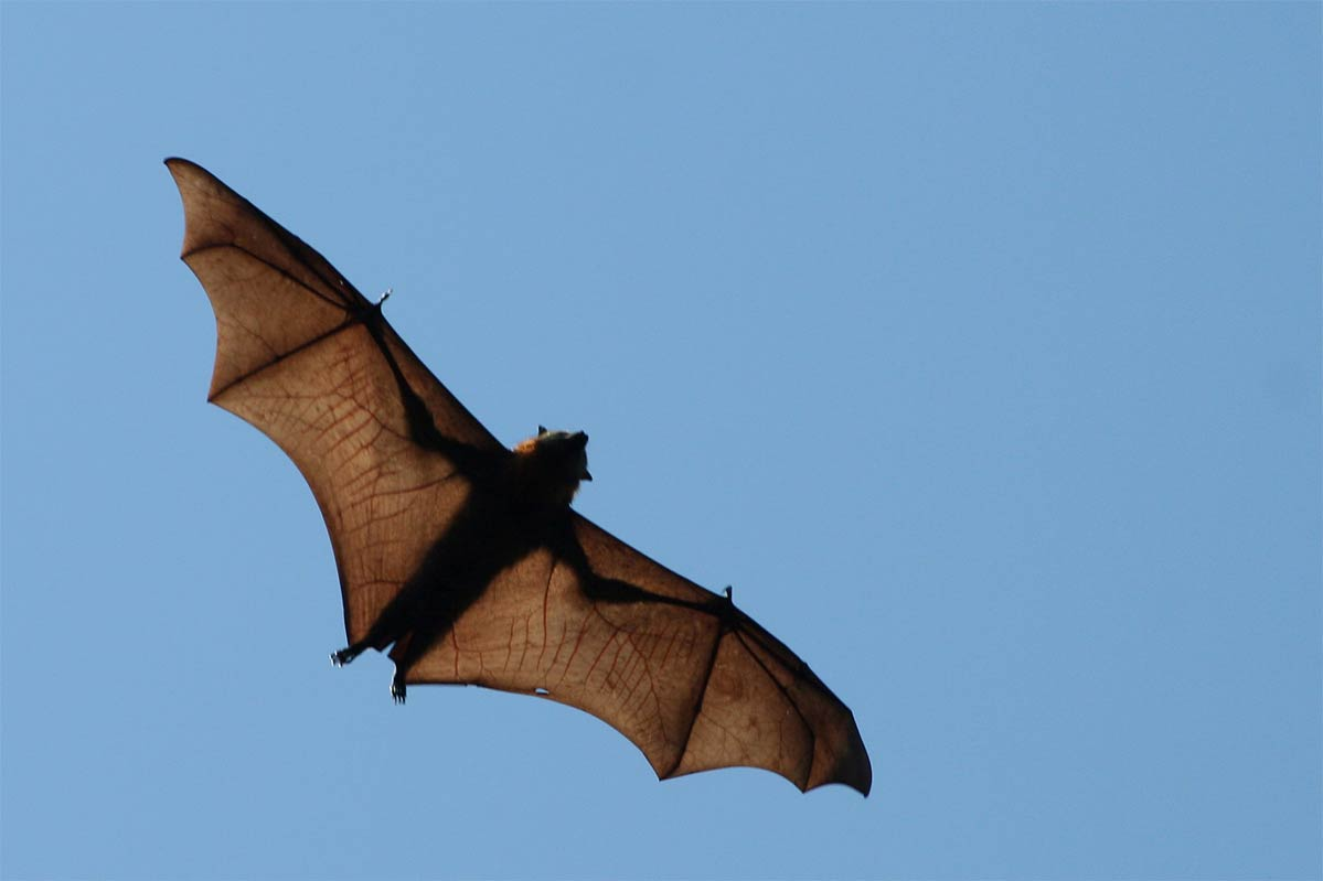 Flying Fox Wallpaper And Background Animals Town