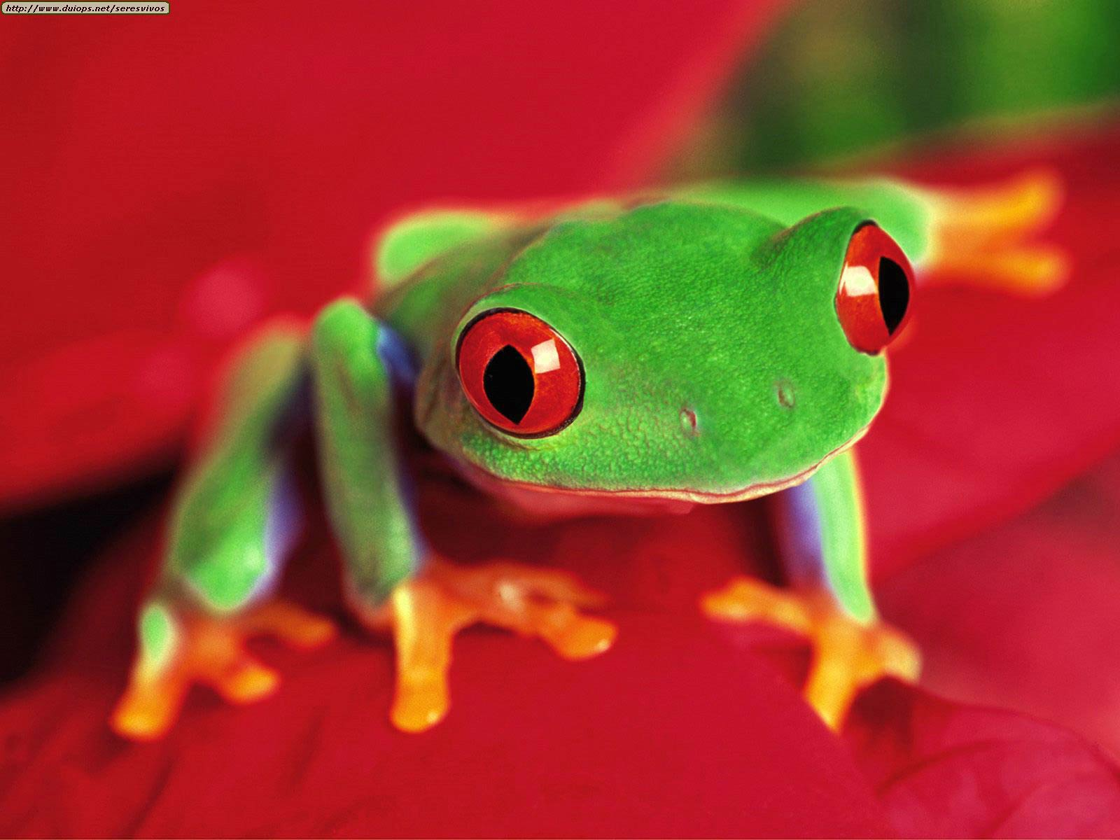 Free Frog Desktop Wallpaper Wallpapers And Mobile