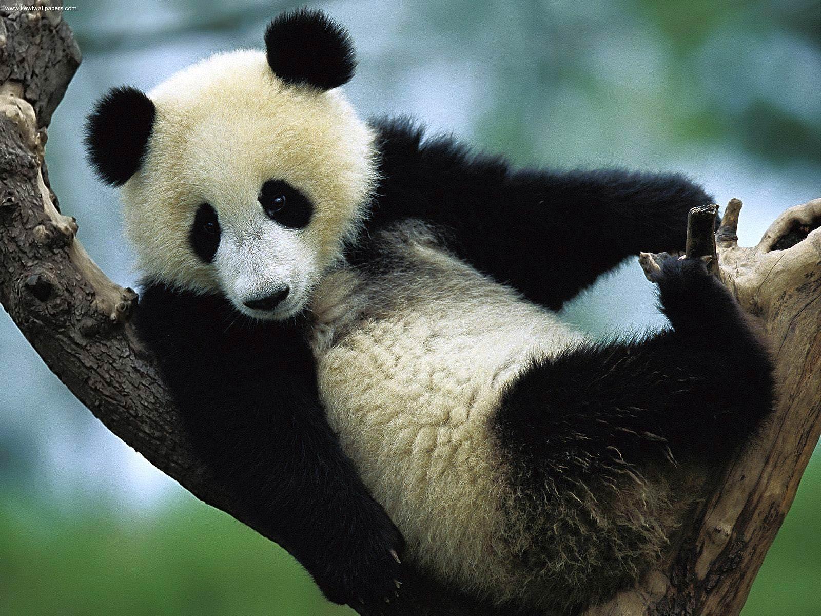 Wonderful Wallpaper Mobile Animal - giant-panda-wallpaper-6  You Should Have_78268.jpg