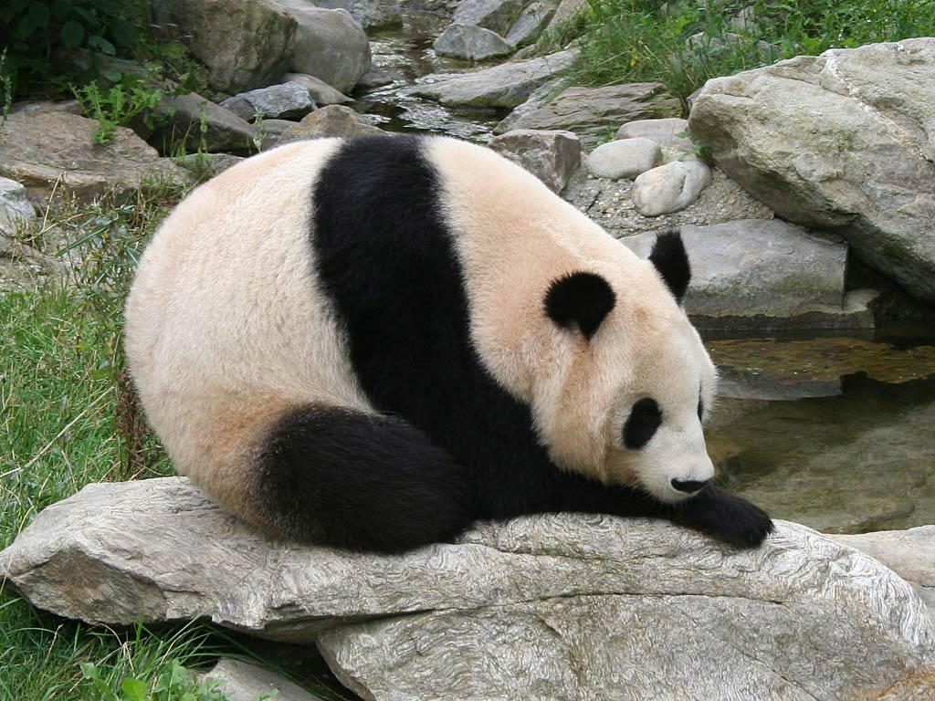 giant panda wallpaper picture animals town