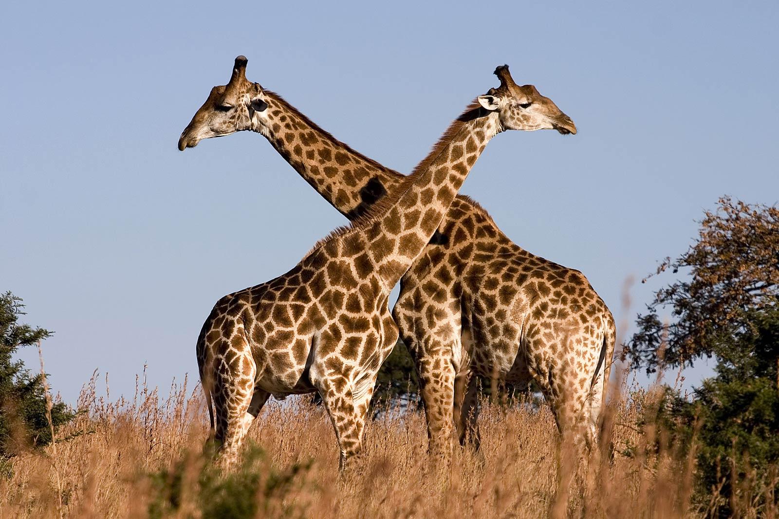 Free Giraffe Wallpaper Wallpapers Download