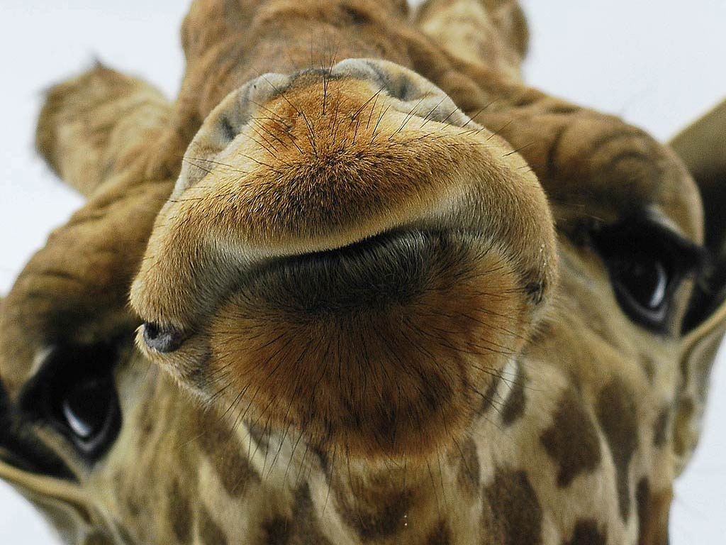 Giraffes Wallpapers Group (72 )