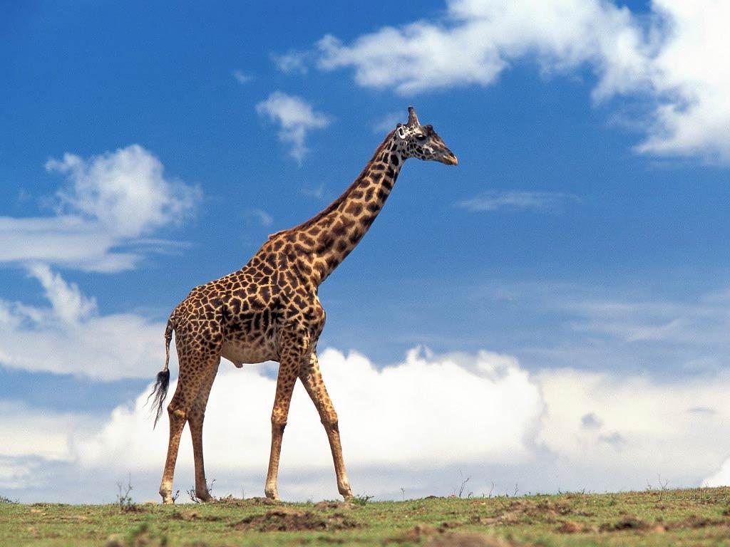 Жираф испугался  № 3895643 без смс