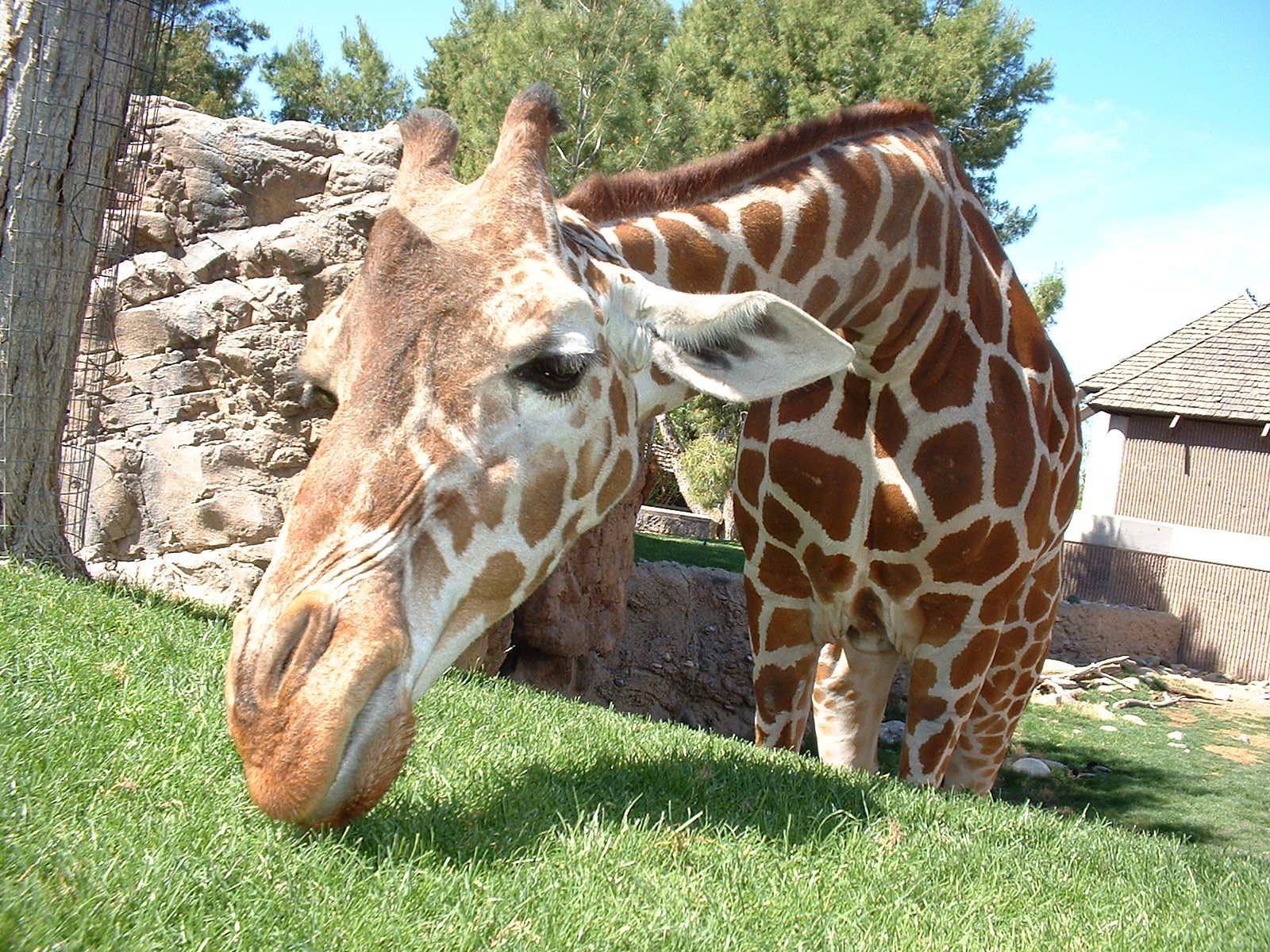 Giraffe Desktop And Mobile Wallpaper Animals Town