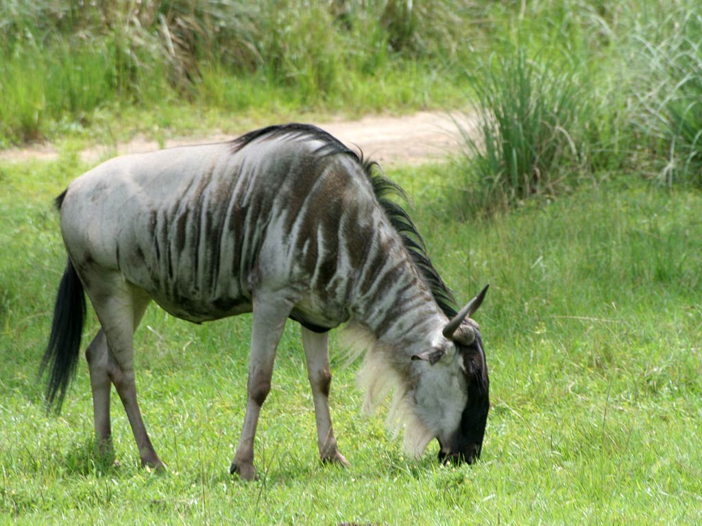 Free Gnu Wallpaper Download Animals Town