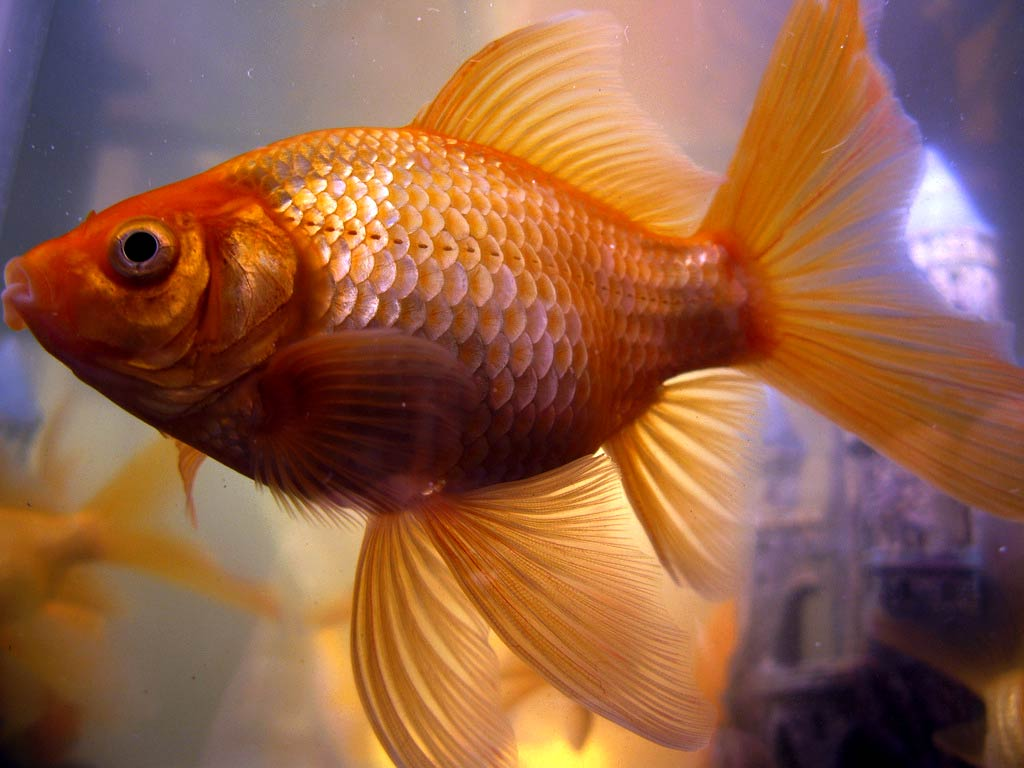 Goldfish Wallpapers Animals Town