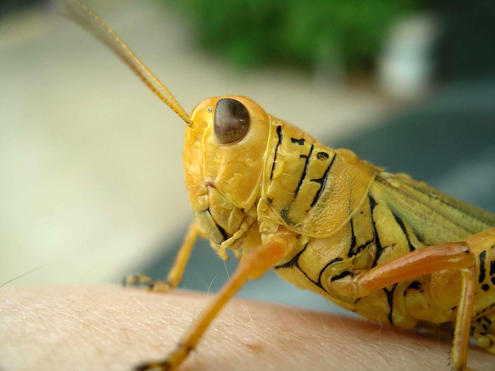 Free Grasshopper Wallpaper - Animals Town