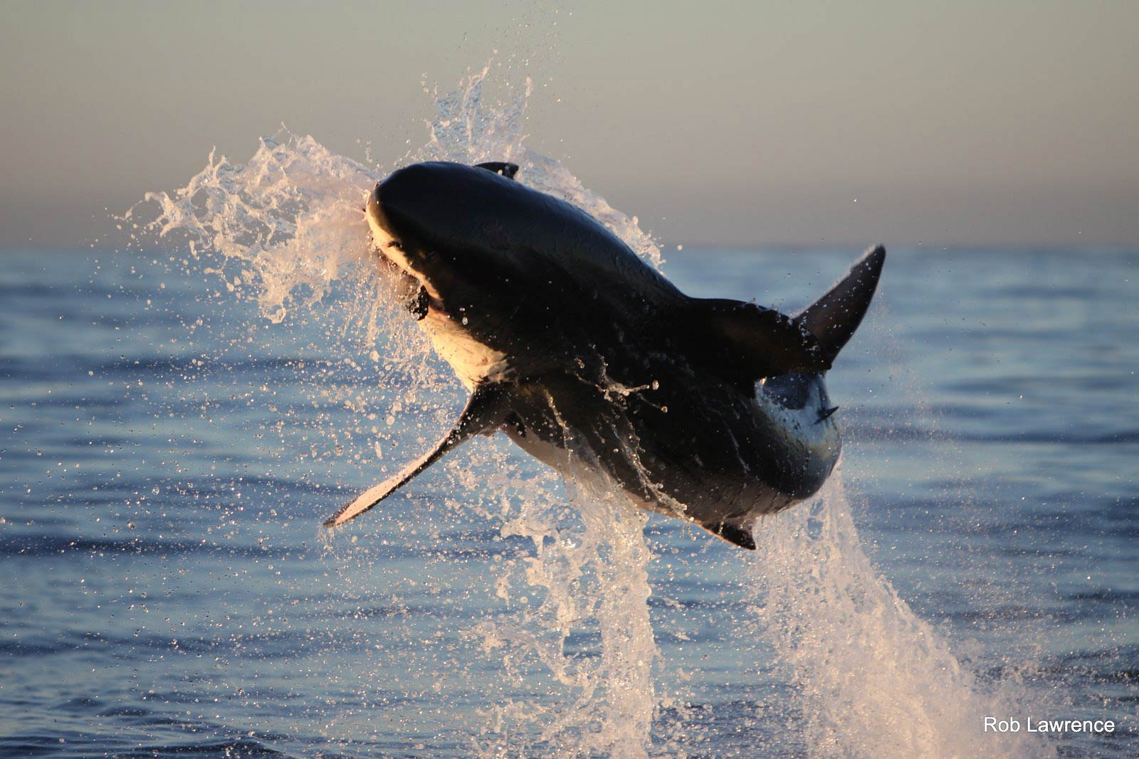 free great white shark wallpaper wallpapers download