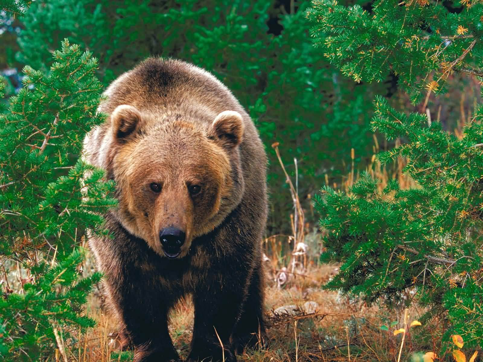 Free Grizzly Bear Wallpaper Download Animals Town