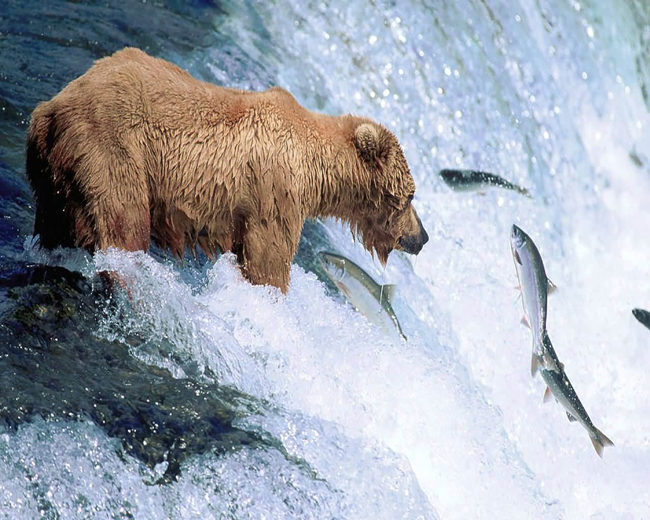 Free Grizzly Bear Wallpaper Wallpapers And Background