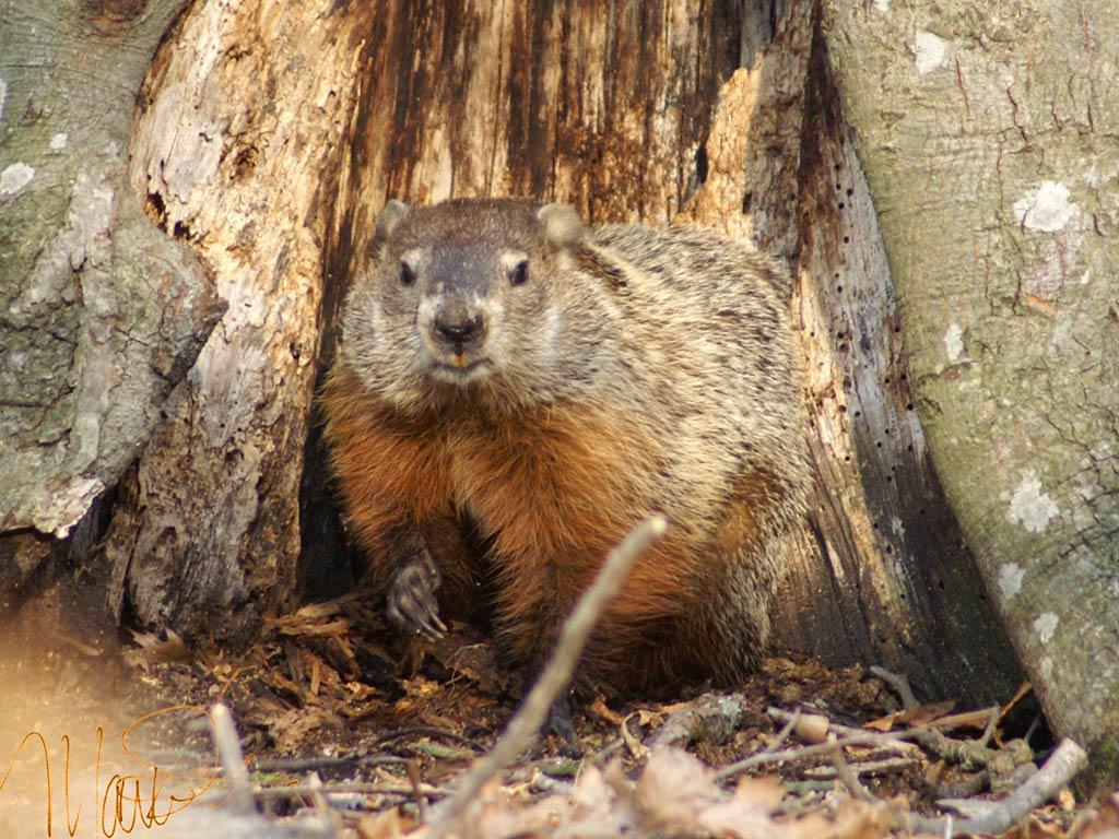 groundhog wallpaper animals town