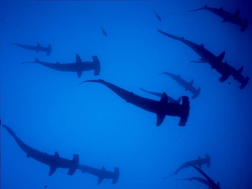 hammerhead shark wallpaper 1