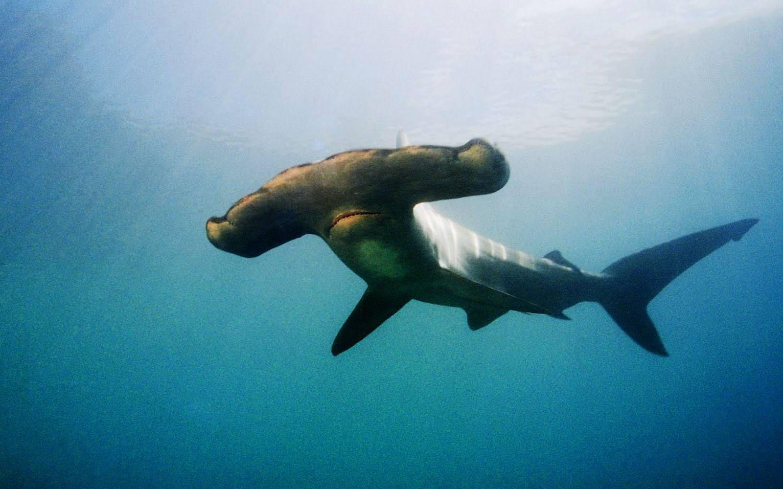 Hammerhead Shark Wallpapers Animals Town