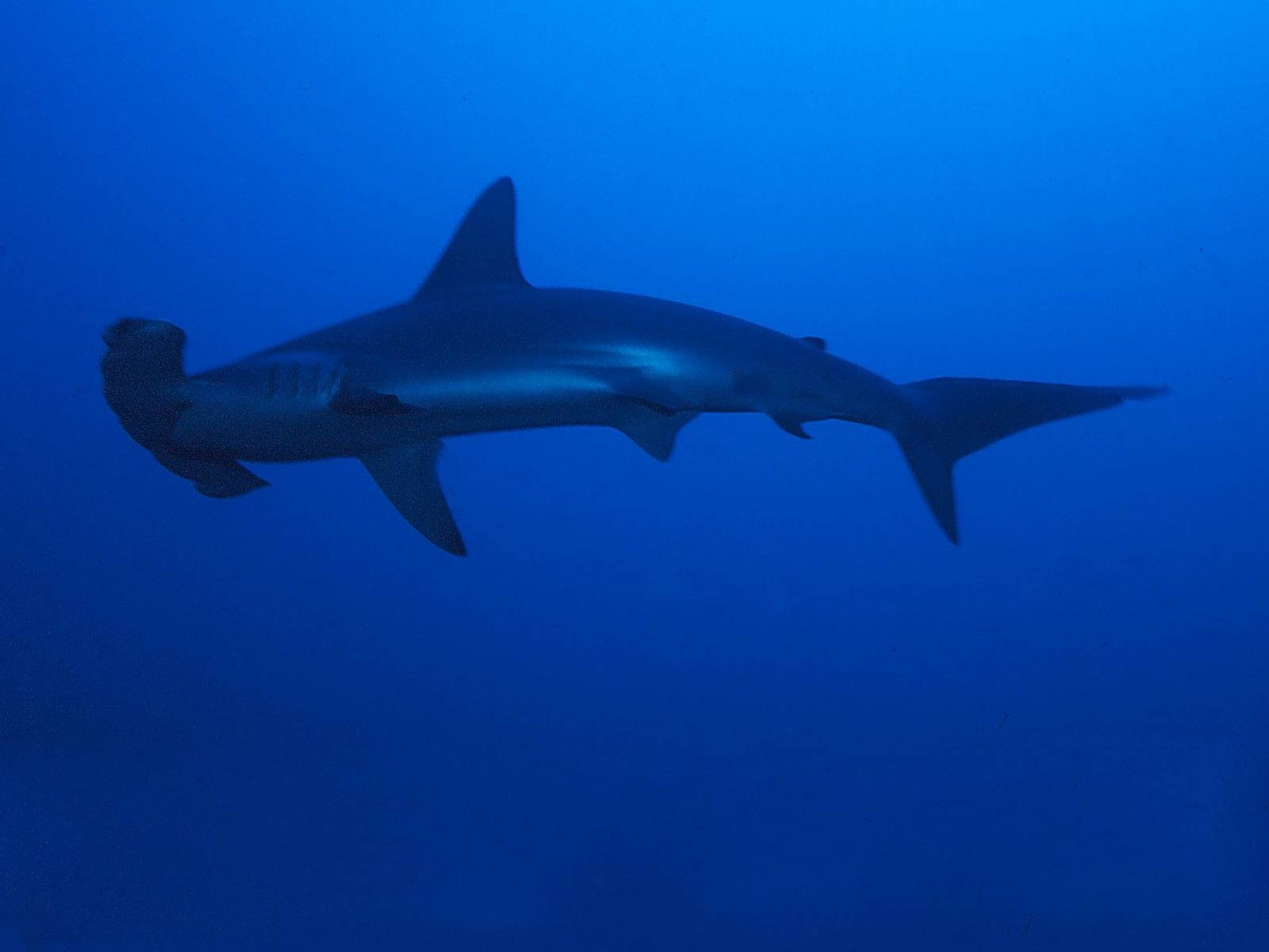 free hammerhead shark wallpaper download animals town