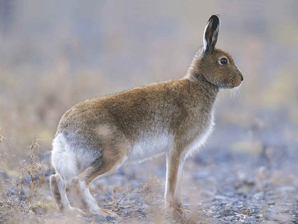 Free Hare Wallpaper Animals Town