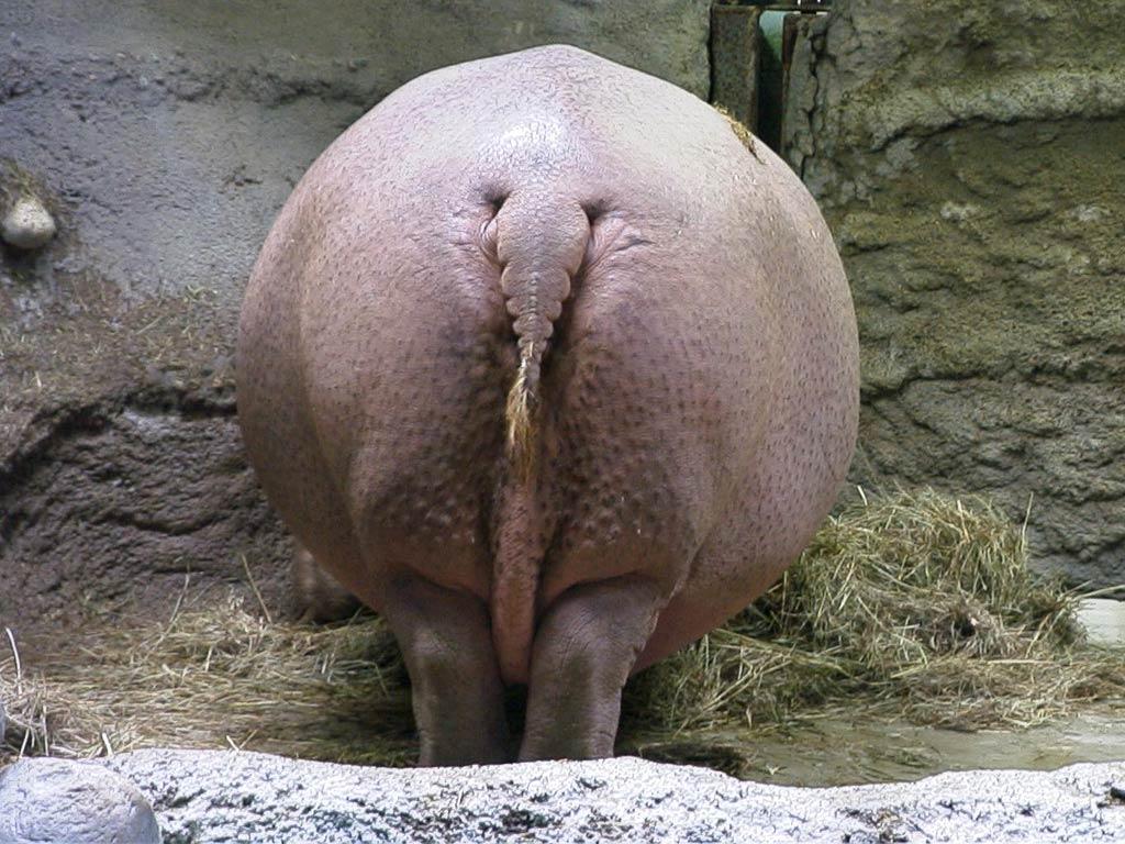 Hippopotamus Hippo Wallpaper Picture Animals Town