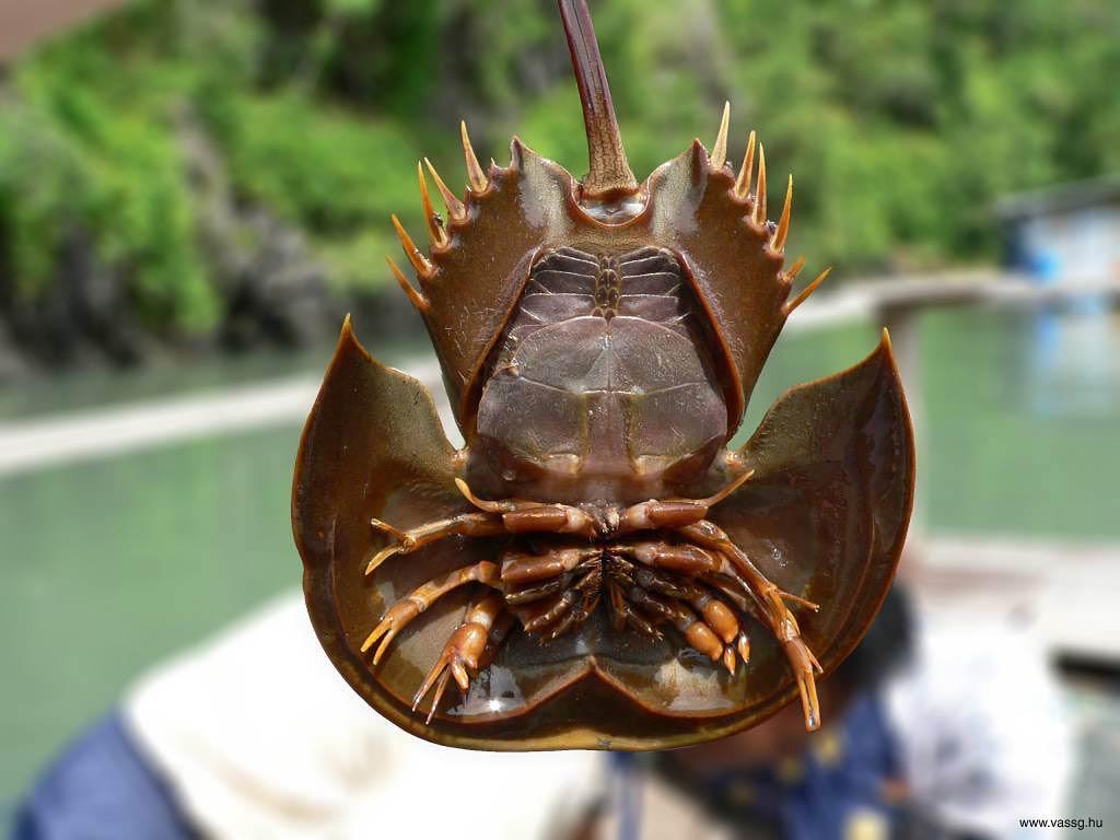 Free Horseshoe Crab Wallpaper Animals Town