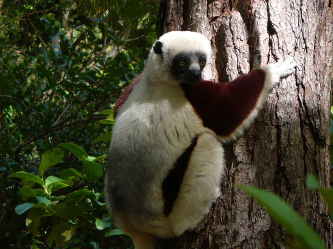 Indri Desktop And Mobile Wallpaper Animals Town