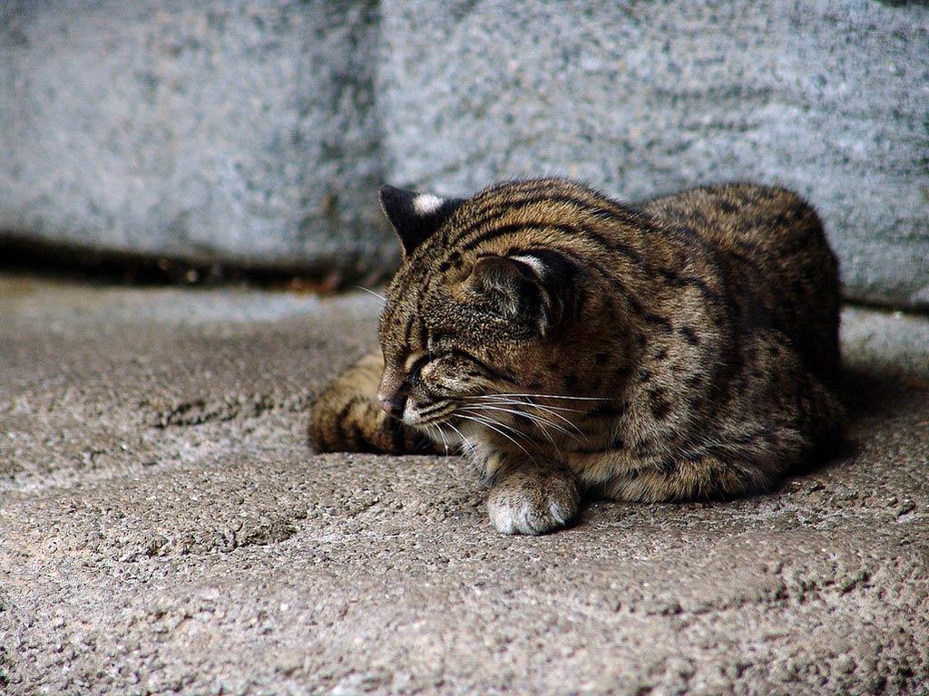 Iriomote Cat Pictures