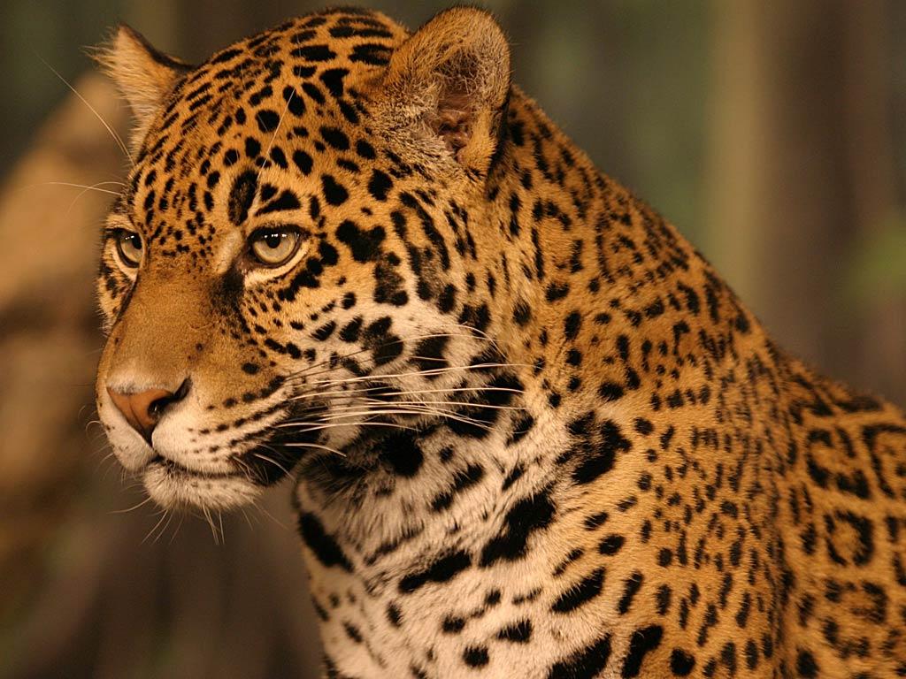 Jaguar Wallpaper Animals Town