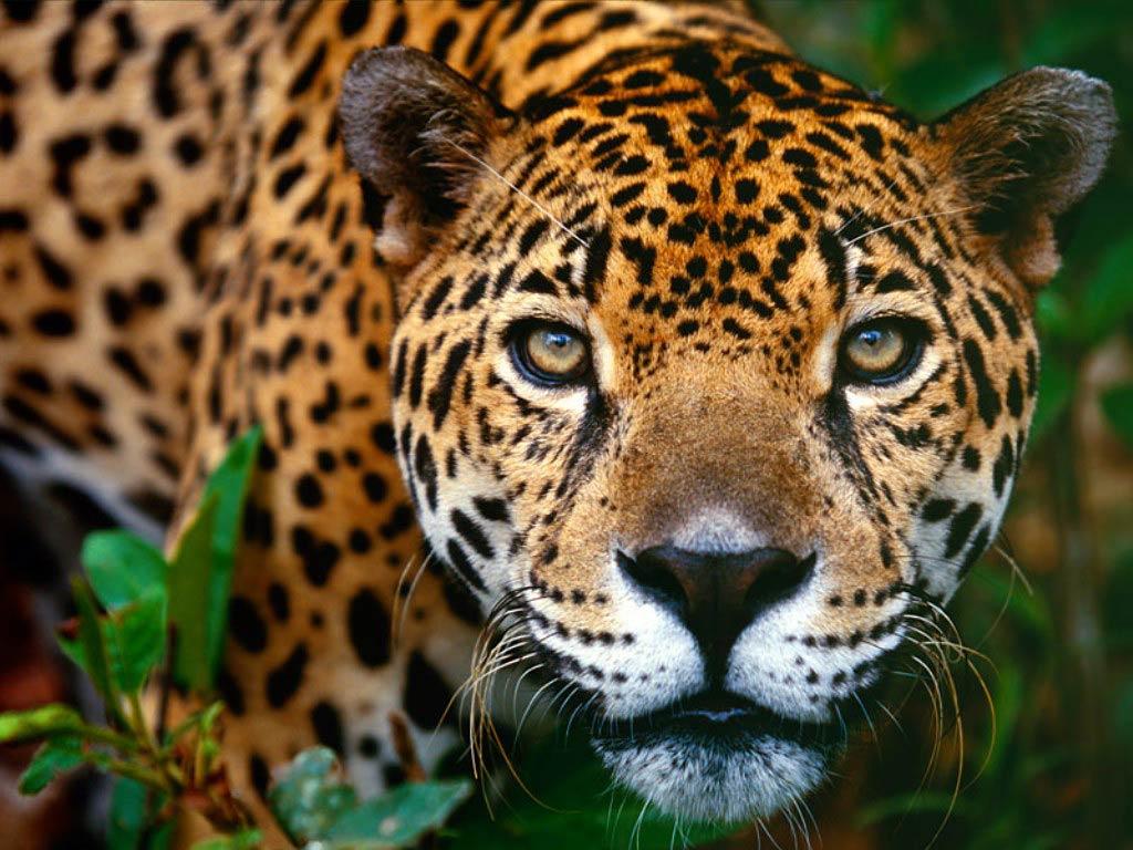 Jaguar Wallpapers Animals Town