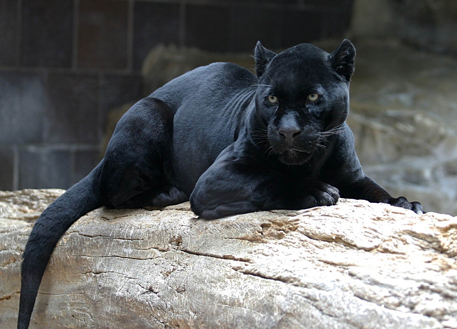 Jaguar Wallpaper and Background Animals Town