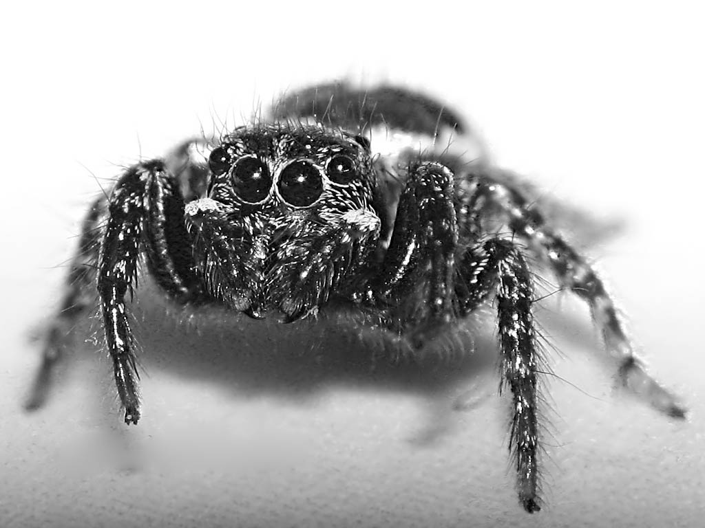 free jumping spider wallpaper wallpapers download