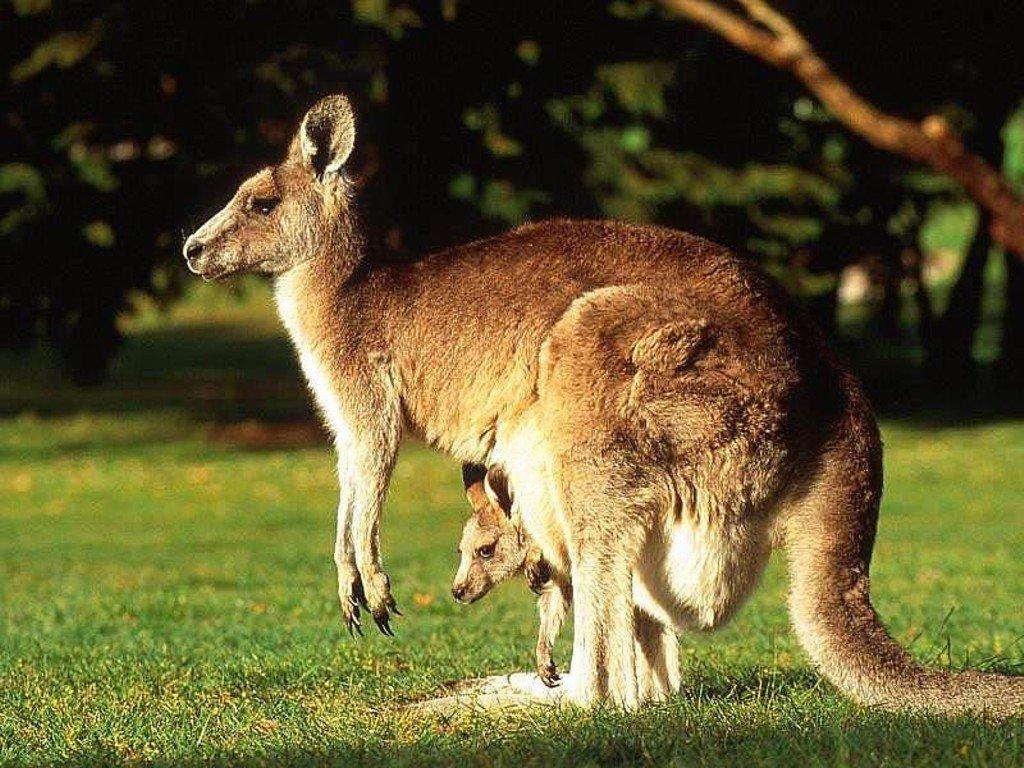 free kangaroo wallpaper download animals town