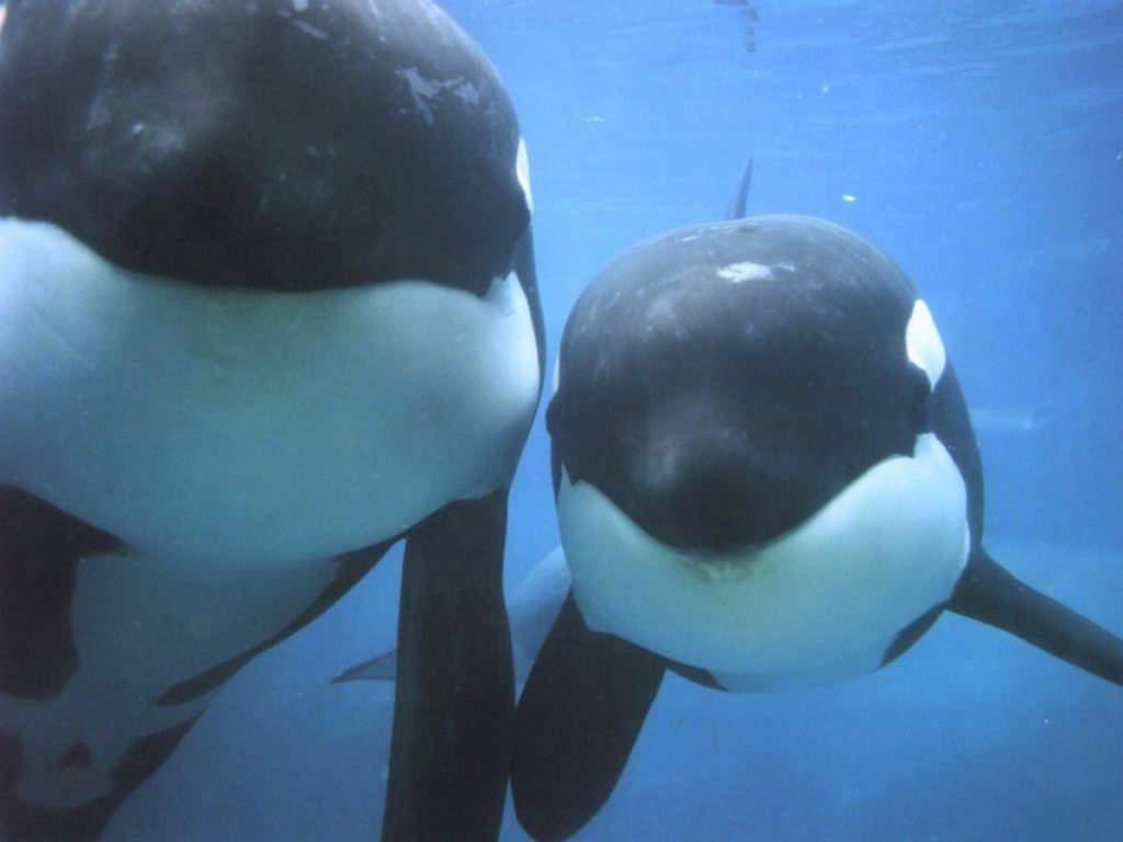 Killer Whale Orca Animals Town