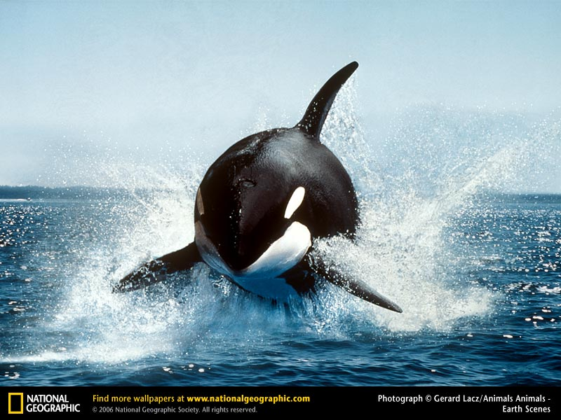 Free Killer Whale Orca Wallpaper Animals Town