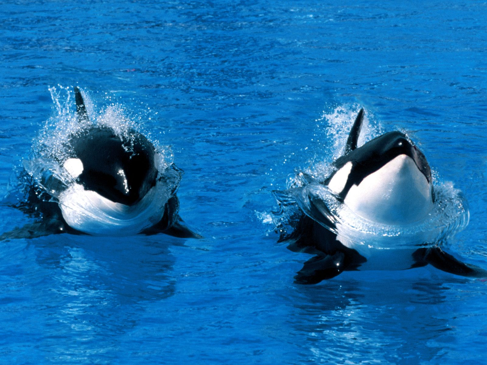 Killer Whale Orca Desktop And Mobile Wallpaper Animals