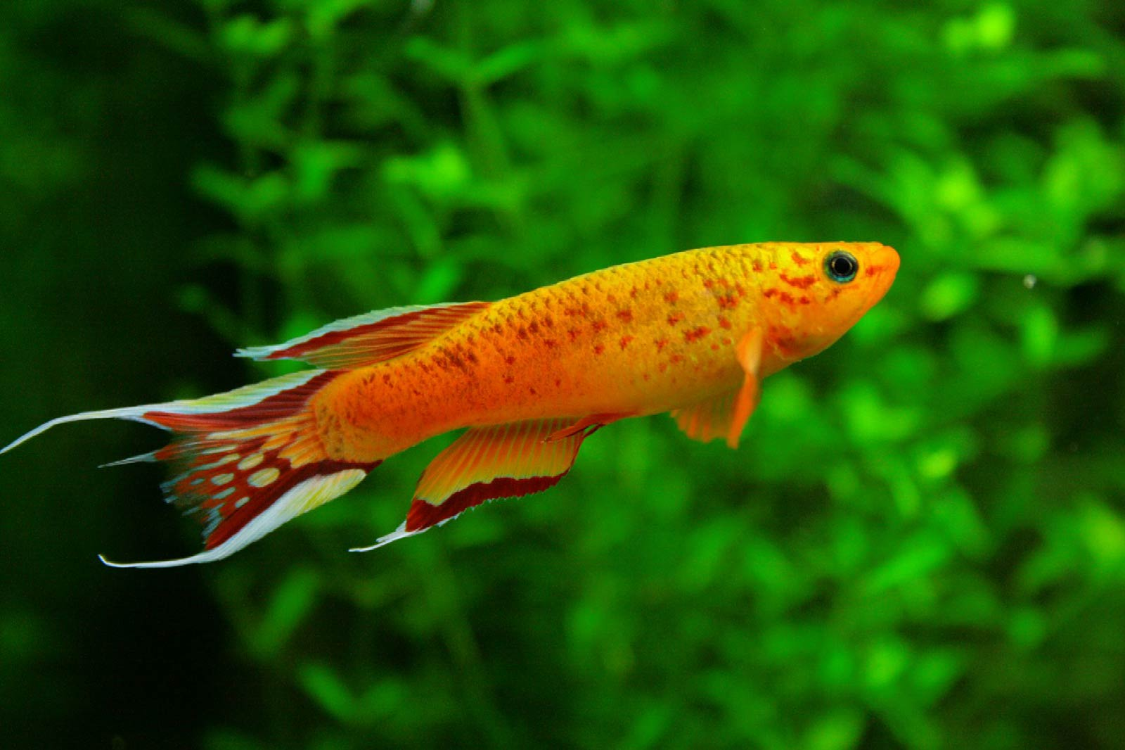 Free Killifish Wallpaper Download Animals Town
