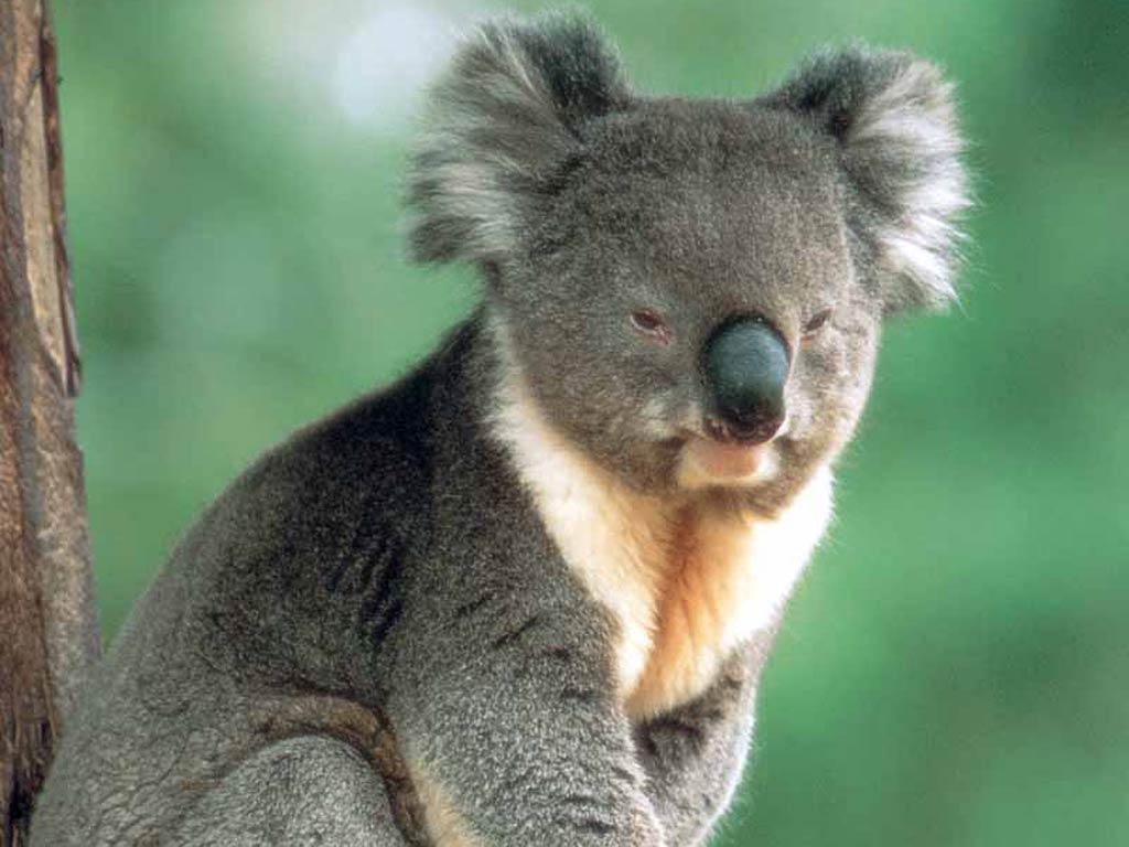 Free Koala Wallpaper Download Animals Town