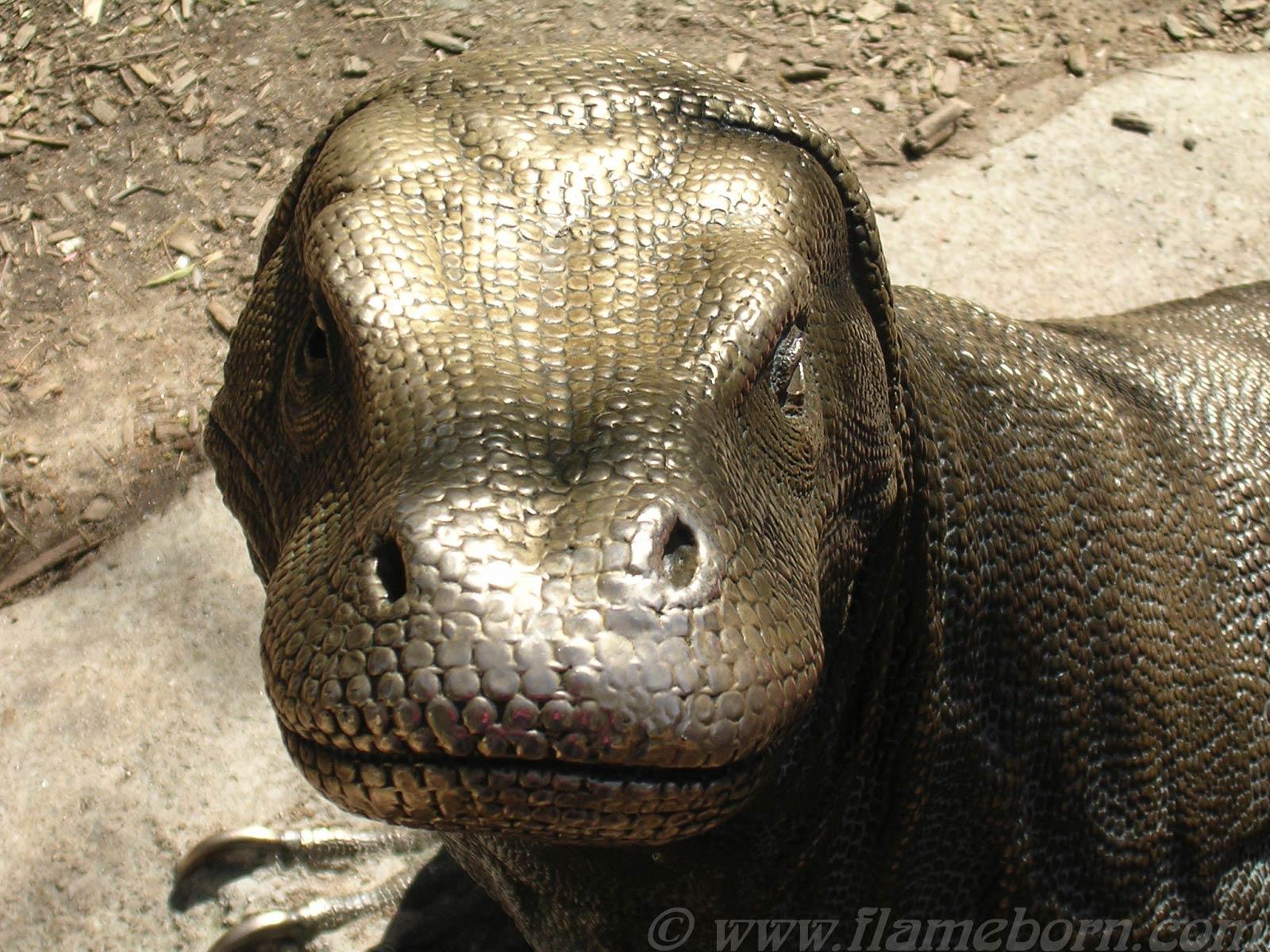Komodo Dragon Wallpaper Animals Town
