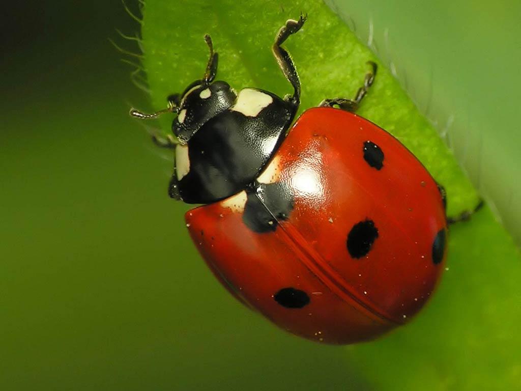 Free Ladybug Wallpaper Wallpapers Download