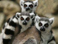 Lemur Animals Town