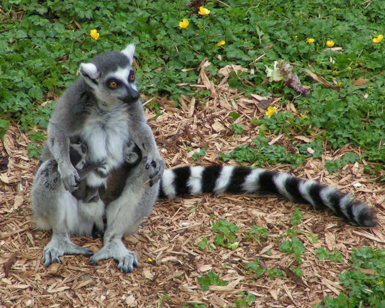 Download Lemur Wallpaper - lemur-wallpaper-1  Perfect Image Reference_884270.jpg