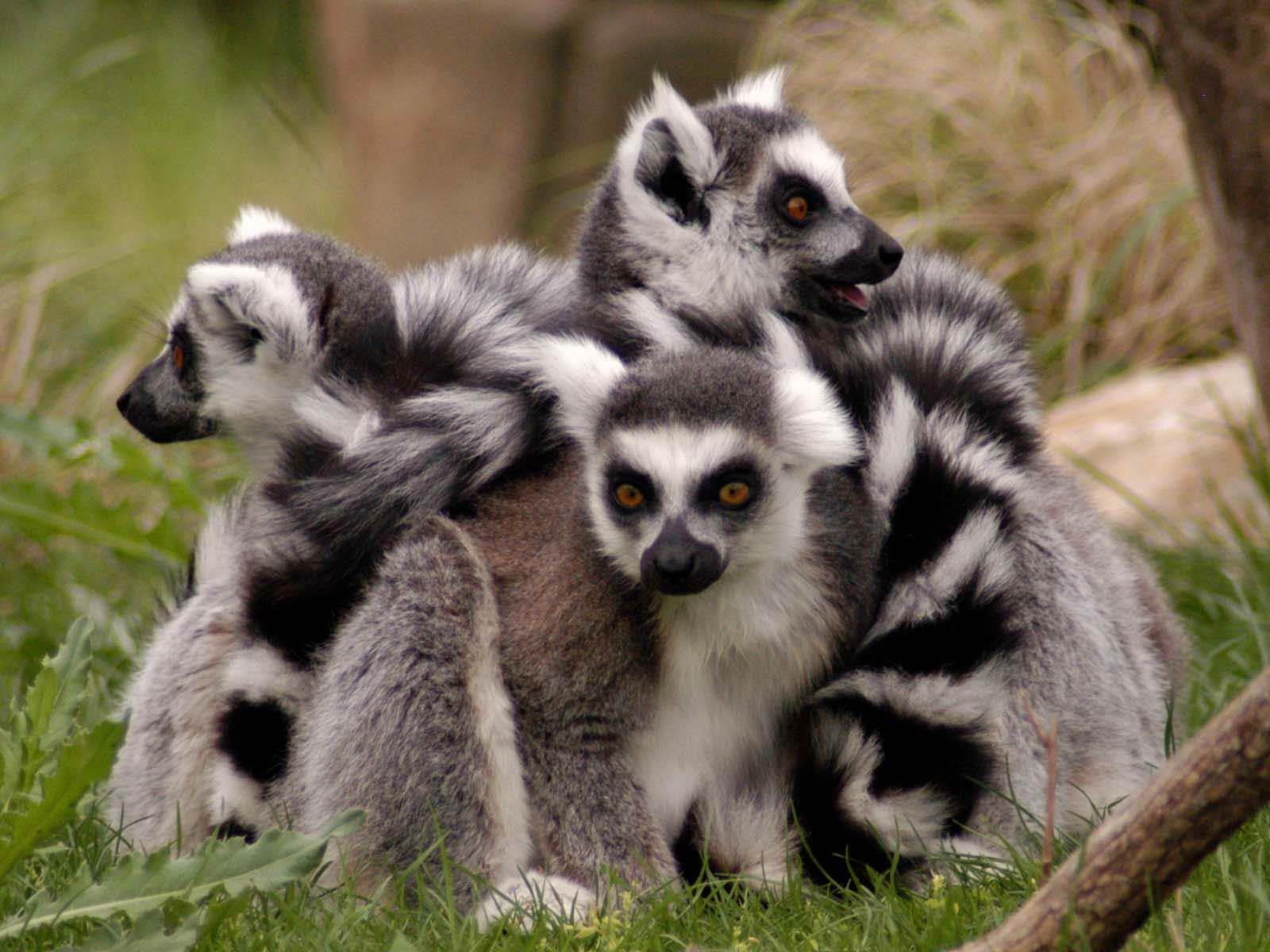 Good Lemur Wallpaper - lemur-wallpaper-6  You Should Have_5715.jpg