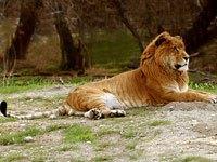 Liger And Tigon Info