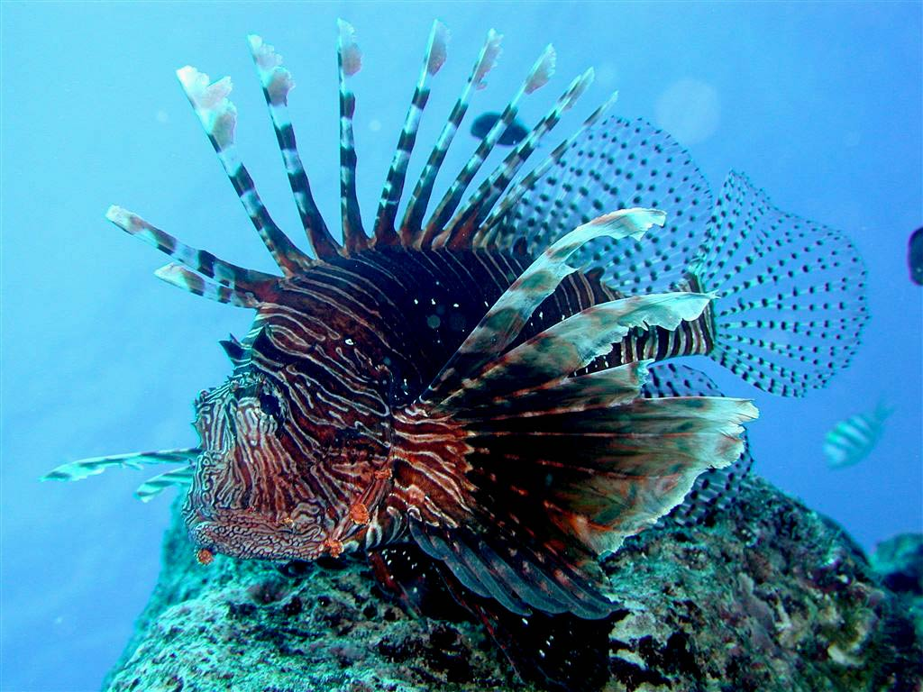 Free Lionfish Wallpaper Animals Town