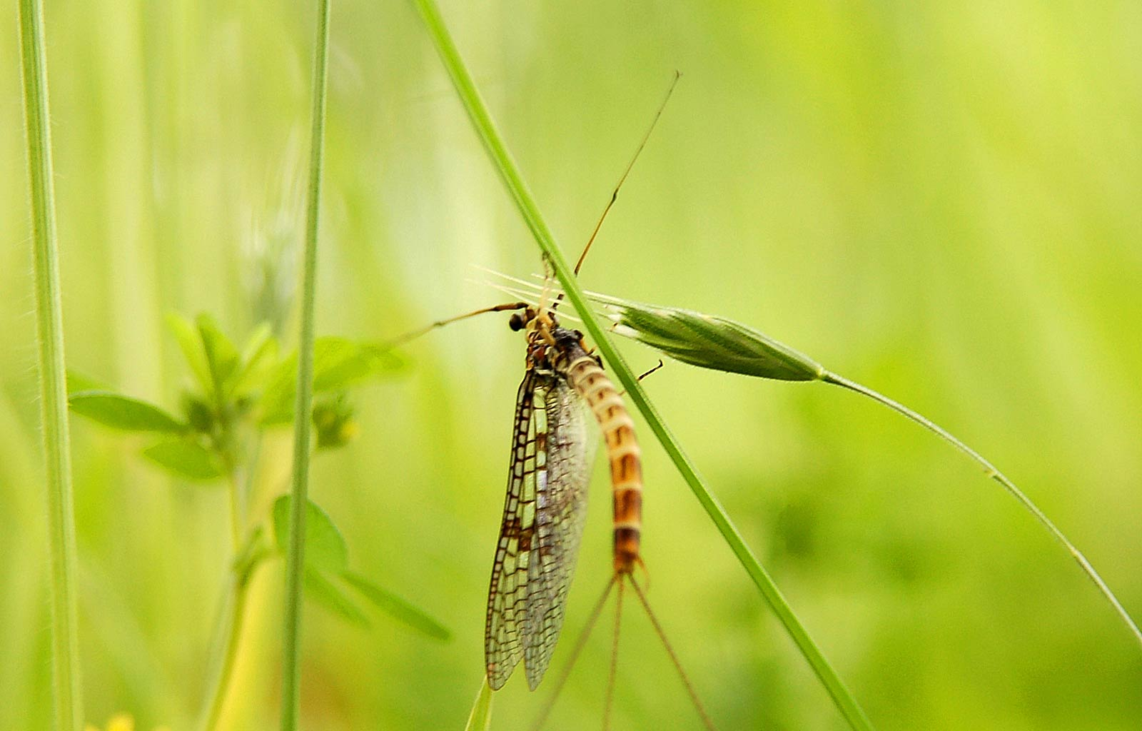 Mayfly Wallpaper And Background Animals Town