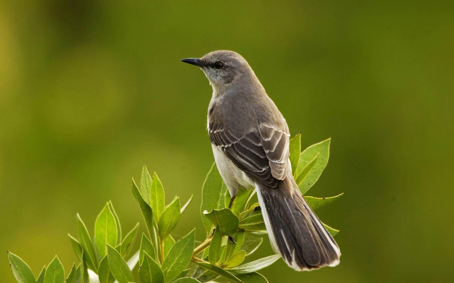free mockingbird wallpaper wallpapers download - Mocking Bird Download
